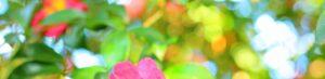 サザンカの花野背景